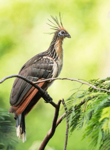 Algumas aves que você pode ver em Alter do chão